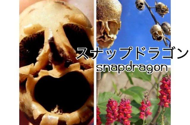 スナップドラゴン金魚草